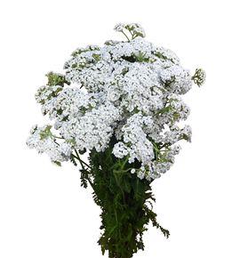 Achilea blanca 60 - ACHBLA