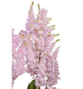 Astilbe peach blossom 60 - ASTPEABLO