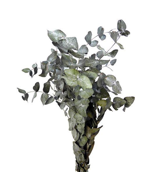 Eucaliptus preservado cinerea - EUCPRECIN