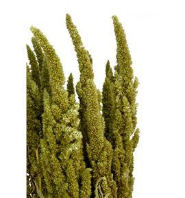 Amaranthus seco verde - AMASECVER