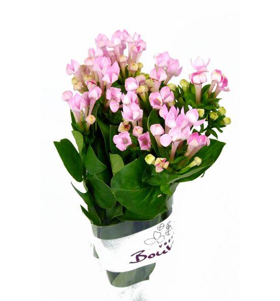 Bouvardia sweet roza 60 - BOUSWEROZ