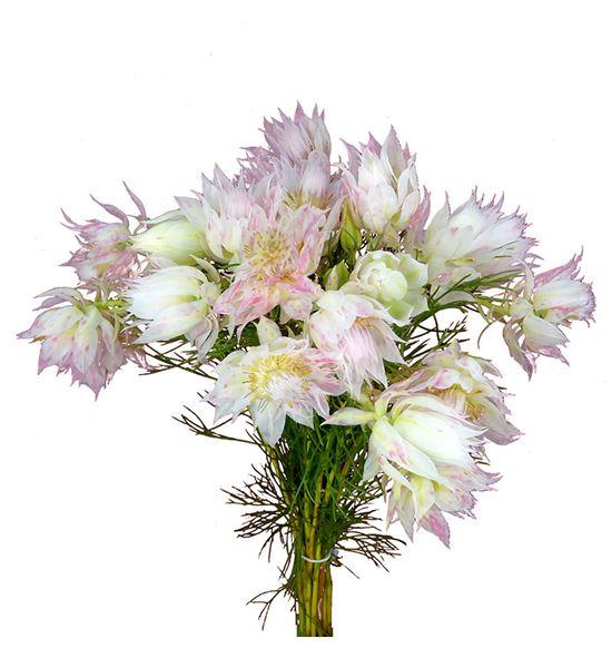 Serruria florida 50 - SERFLO
