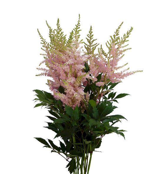 Astilbe pink beauty 70 - ASTPINBEA