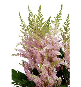 Astilbe pink beauty 70 - ASTPINBEA