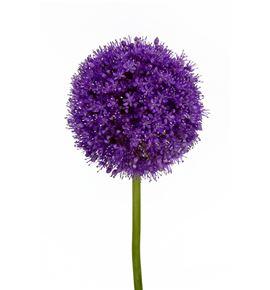 Allium giganteum 70 - ALLGIG