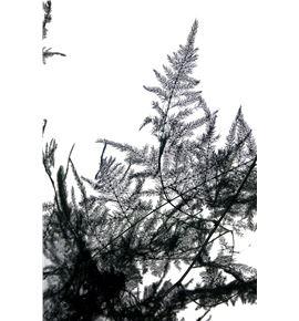 Esparraguera plumosa preservada - ESPPLUPRE
