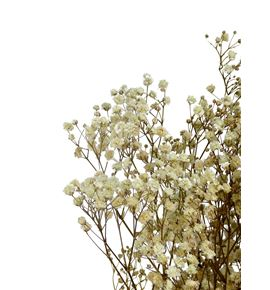 Gypsophila preservado natural - GYPPRENAT