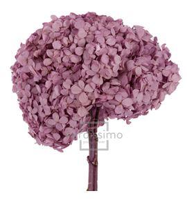 Hortensia preservada premium hrt/0820 - HRT0820-02-HORTENSIA