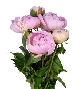Paeonia angel cheeks x5 50 - PAEANGCHE