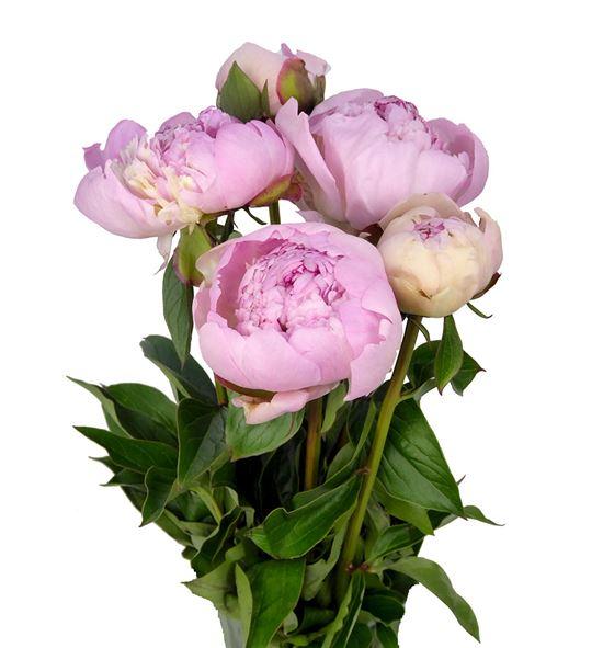 Paeonia angel cheeks x5 50 - PAEANGCHE
