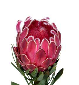 Protea venus 50 - PROVEN