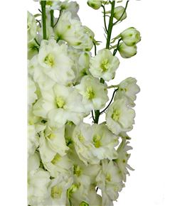 Delphinium dewi dutch 100 - DELDEWDUT