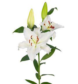L.o. premium blond 1ª 2 flores - LOPREBLO