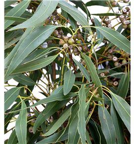 Eucaliptu globulus frutos - EUCGLOFRU
