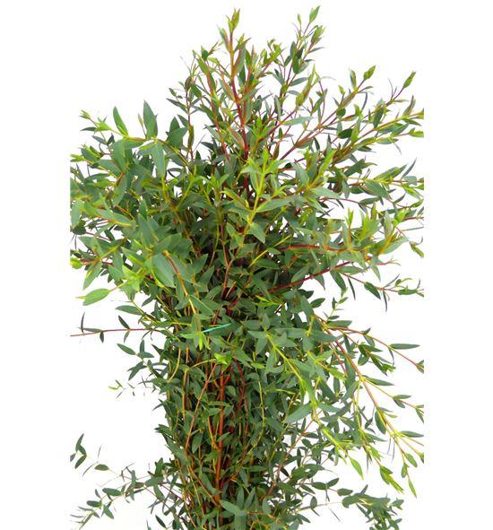 Eucaliptu parvifolia 60 - EUCPAR