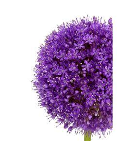 Allium giganteum 100 - ALLGIG