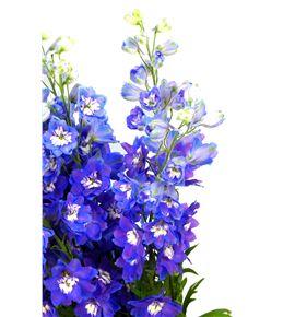 Delphinium dewi blue star 90 - DELDEWBLUSTA