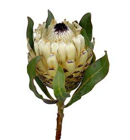 Protea barbigera snow queen 40 - PROBARSNOQUE