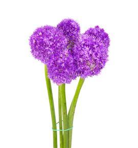 Allium morado - ALLMOR