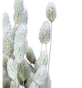 Phalaris verde - PHAVER