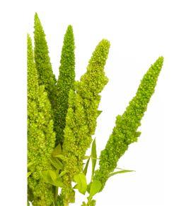 Amaranthus green cord 70 - AMAVER