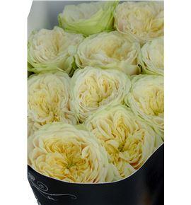 Rosa hol. darlington 50 - RGRDAR