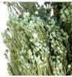 Broom bloom seco azul claro - BROSECAZUCLA1
