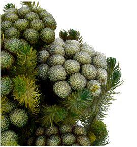 Brunia preservada albiflora - BRUPREALB