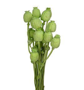 Papaver seco verde claro - PAPSECVERCLA