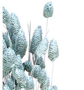 Phalaris azul claro - PHAAZUCLA