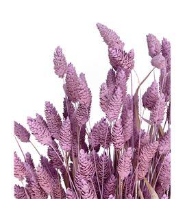 Phalaris lila claro - PHALILCLA