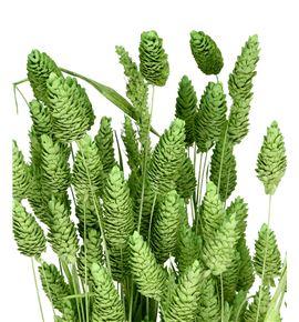 Phalaris verde claro - PHAVERCLA