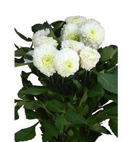 Dahlia caro 55 - DAHCARO