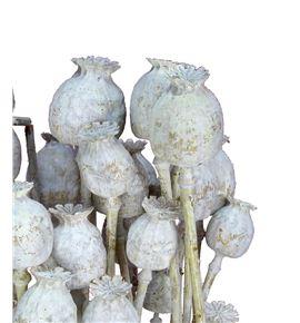 Papaver seco blanco - PAPSECBLA