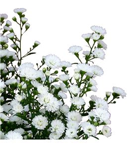 Aster white gypsy 80 - ASTCAS