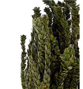 Buxifolia preservada - BUXPRE