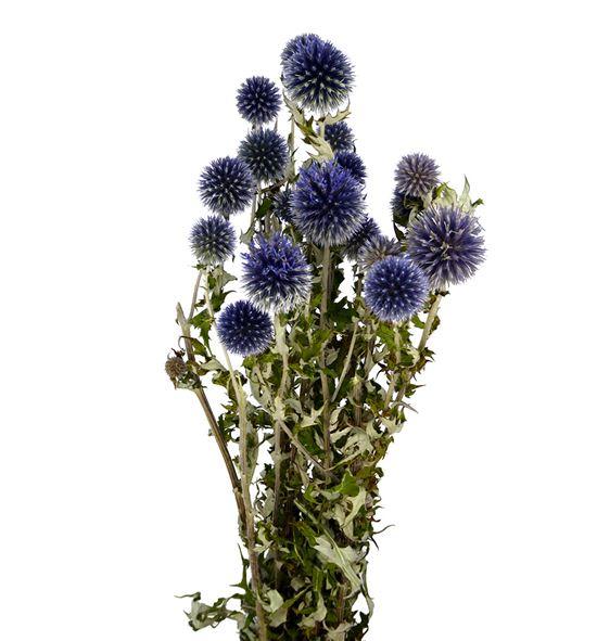 Echinops seco azul - ECHSECAZU