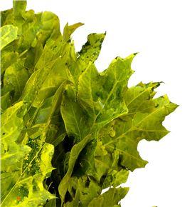 Quercus amarillo - QUEAMA