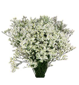 Limonium clear diamond 70 - LIMCLEDIA
