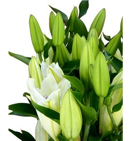 Lilium oriental hol signum 100 - LOHSIG