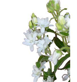 Oxypetalum pint white double 45 - OXYPINWHIDOU