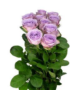 Rosa hol lullaby 70 - RGRLUL