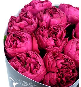 Rosa raspberry elegance 50 - RGRRASELE