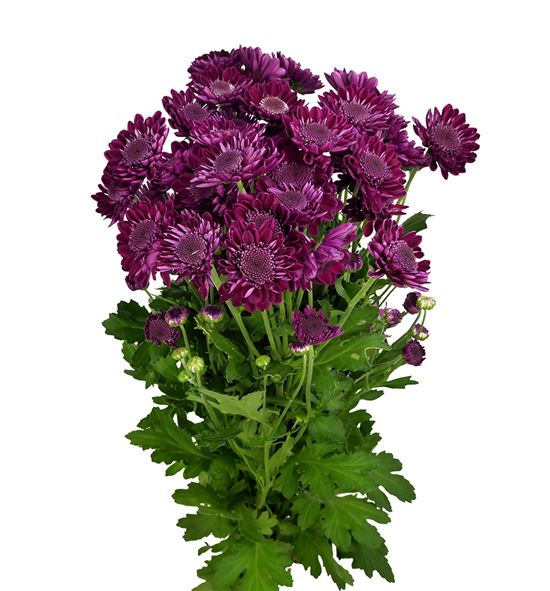 Marg hol sagan purple - MHSAGPUR