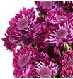 Marg hol sagan purple - MHSAGPUR1