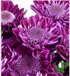 Marg hol sagan purple - MHSAGPUR2