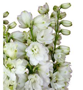 Delphinium guardian white 60 - DELGUAWHI
