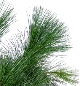Pinus strobus 60 - PINSTR