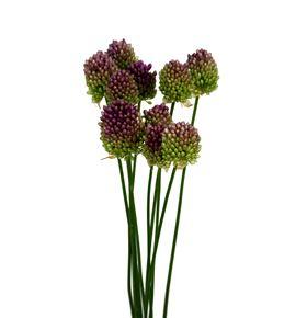 Allium bullet 65 - ALLBUL
