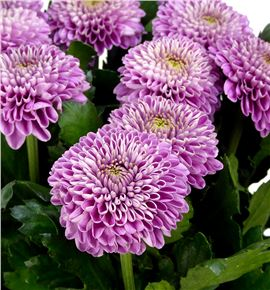 Cr zodiac lilac 80 - CRGZODLIL